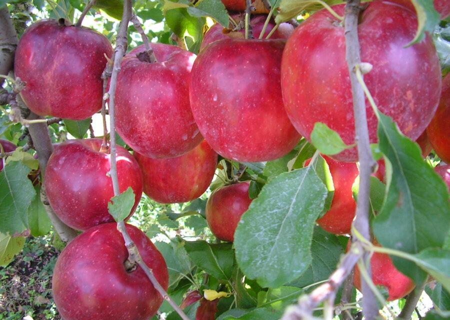 完熟紅玉(りんご) 9月下旬~11月上旬イメージ01