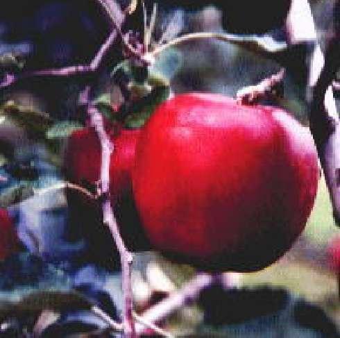 完熟紅玉イメージ01