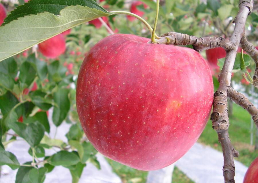 りんご(新品種) 8月下旬~12月中旬イメージ02