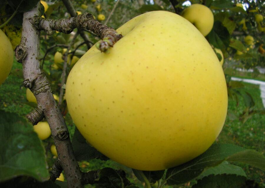 りんご(新品種) 8月下旬~12月中旬イメージ01